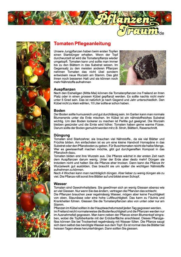 wann tomaten auspflanzen