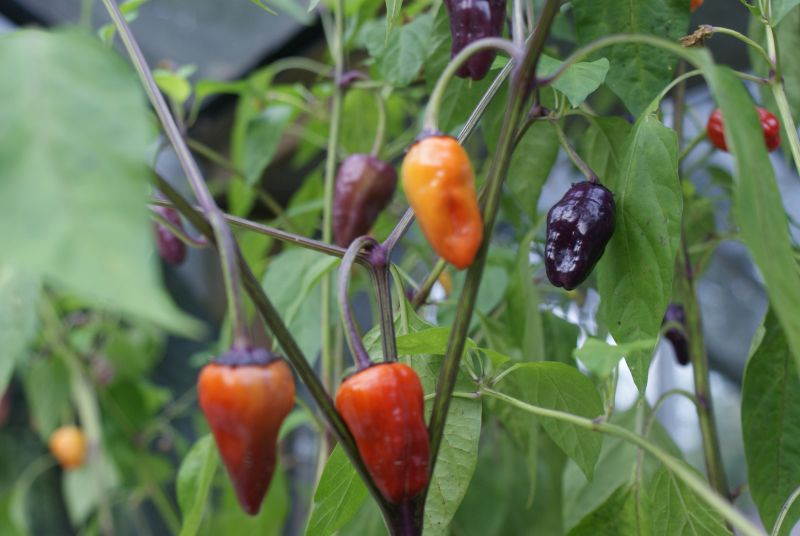Chilipflanze Black Scorpion Tongue Capsicum annuum Schärfe 9