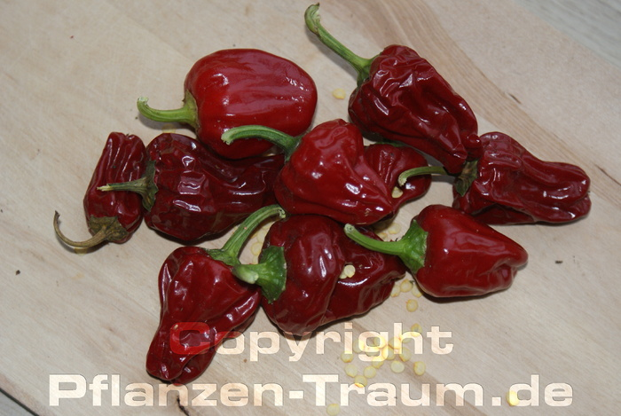 Chilipflanze Big Jamaican Red Habanero Capsicum chinense Schärfe