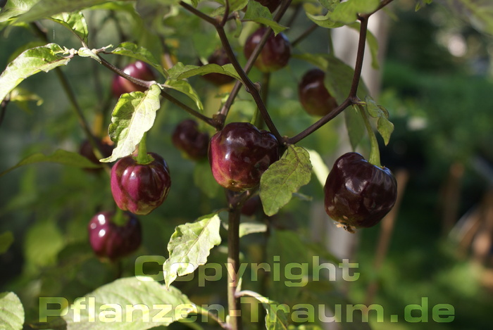 Chilijungpflanze CGN 21500 Capsicum chinense Schärfe 10