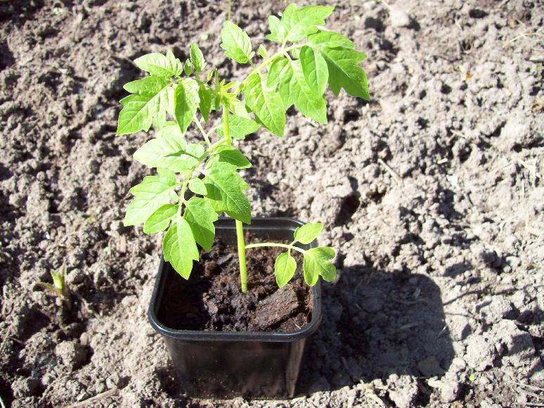 tomaten anpflanzen tomaten pflanzen tipps zum setzen. Black Bedroom Furniture Sets. Home Design Ideas