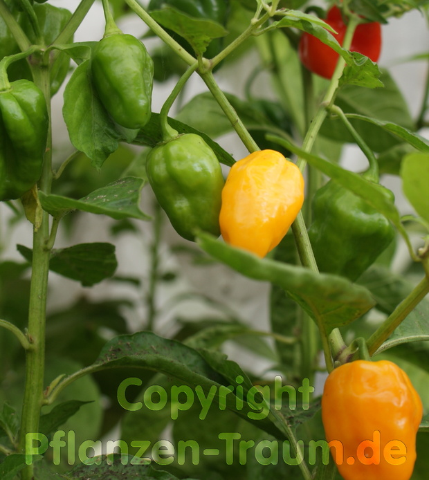 Chilipflanze Trinidad Scorpion orange Capsicum chinense Jacquin