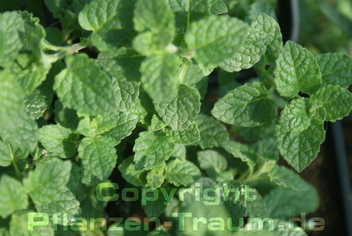 Erdbeerminze Mentha species
