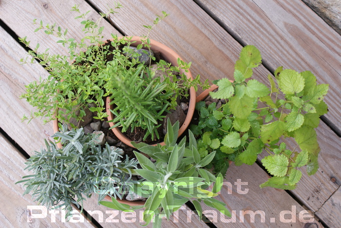 Fünf Küchen Kräuter Pflanzen | Pflanzen-traum.de Krauter Balkon Pflanzen