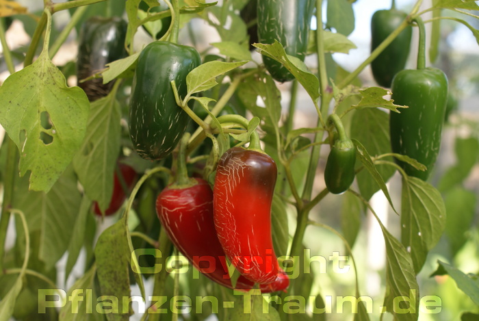 Chili Samen Jalapeno Fooled You Capsicum annuum Schärfe 1