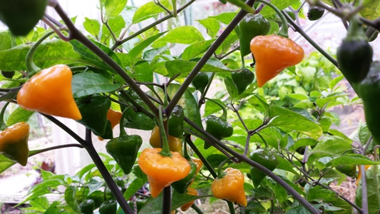 Chili Jungpflanze Orange Lantern Capsicum chinense Schärfe 9