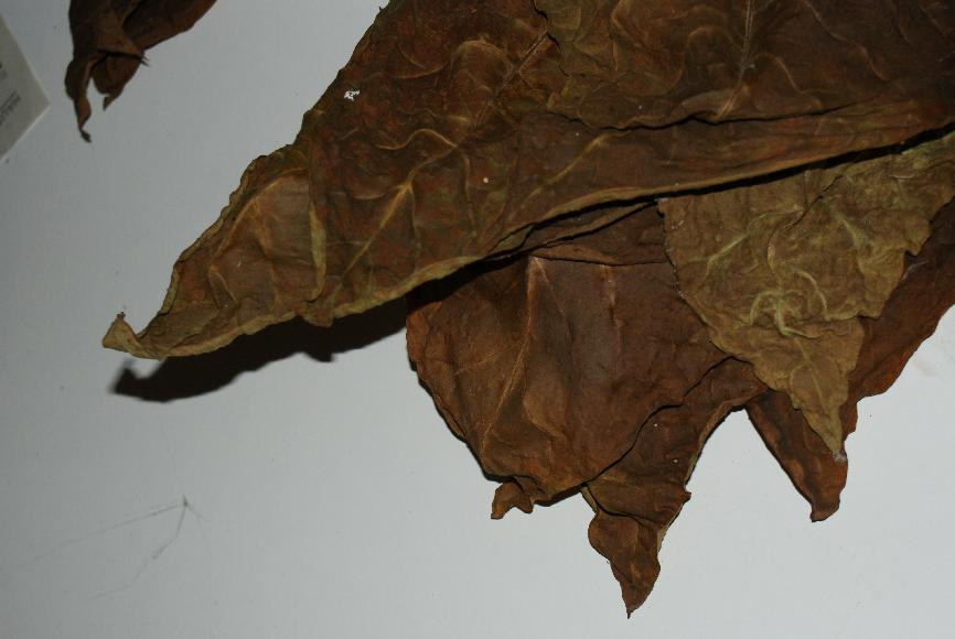 tabak pflanzen saatgut anzucht botanik beschreibung pflanzen jungpflanzen pflege anbau. Black Bedroom Furniture Sets. Home Design Ideas