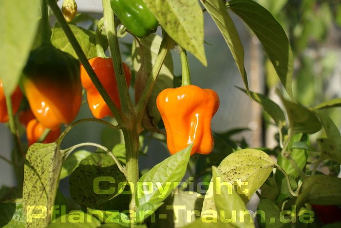 Chilipflanze Big Jamaican Orange Habanero C. chinense Schärfe 7