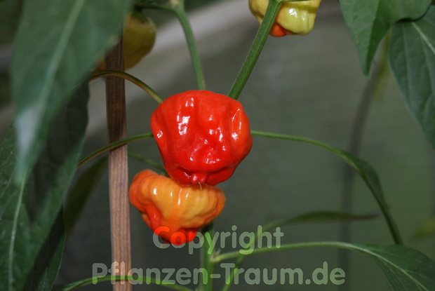 Chilipflanze Jamaican Red Hot Capsicum chinense Schärfe 9 - 10