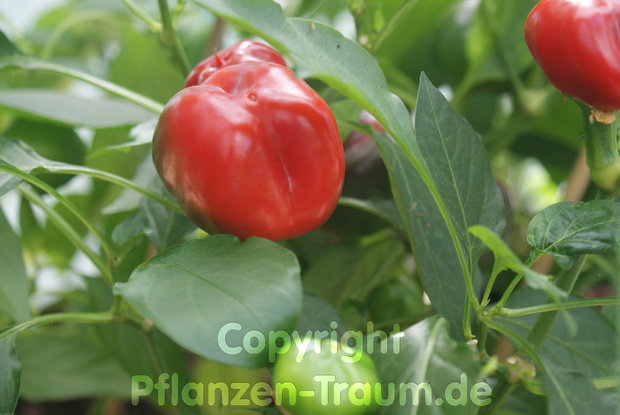 Chili Jungpflanze Large Red Cherry Kirschpaprika Capsicum annuum