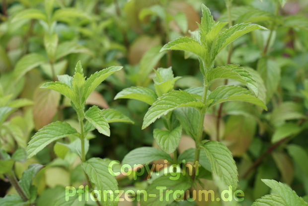 Minze Mojito Hemingway Mentha species Nemorosa