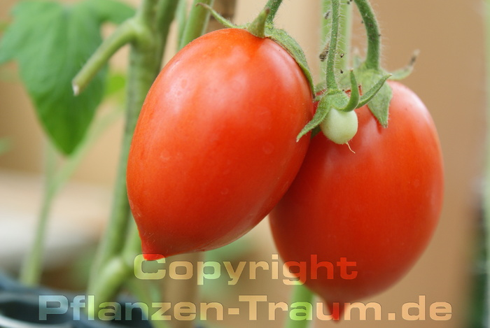 Tomate Ventura Pflanze Buschtomate